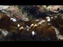 【癒やし動画】よちよち泳いで昆布にぺたり!ちびナメダンゴ【2015.05.17】
