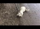 Белый кот катается в грязи