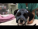 UC Davis 3D Printed Mask Serves as Cast for Fractured Dog Skull
