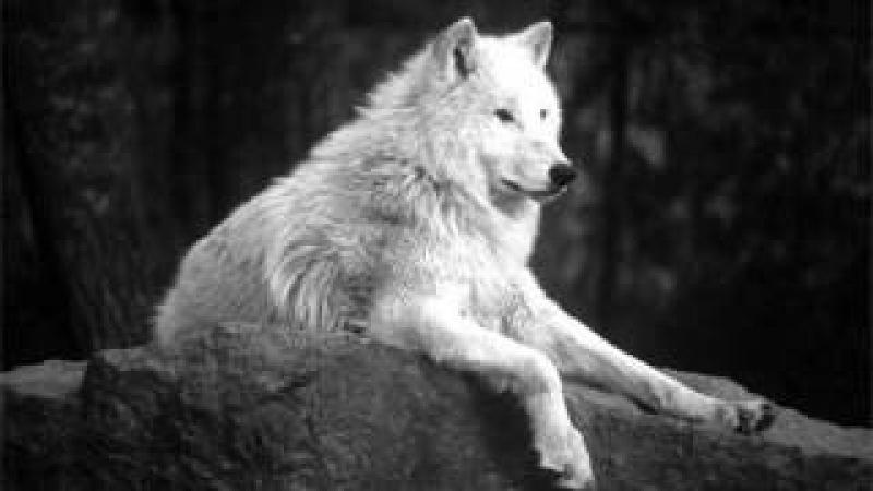 Белый Одинокий Волк