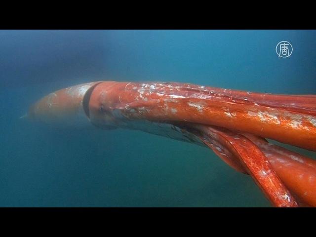 Гигантский кальмар заглянул в гости в японский порт новости