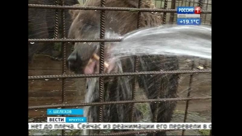 Медведь оторвал руку посетителю кафе в Шелеховском районе. Подробности