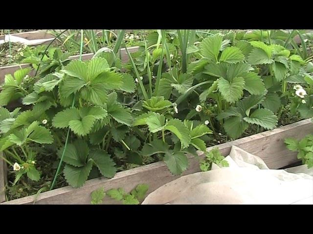 Подкормки земляники садовой крупноплодной в момент цветения Секреты хороших урожаев.