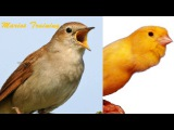 Canary singing video -Your canary will sing like Nightingale
