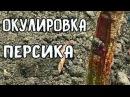 ОКУЛИРОВКА ПЕРСИКА - ИТОГИ
