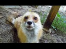 Scritches and Mosquitoes - pet red fox RonRon
