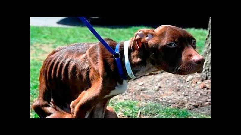 Лечение собаки после года страданий, история спасения питбуля Патрика в ветерин...