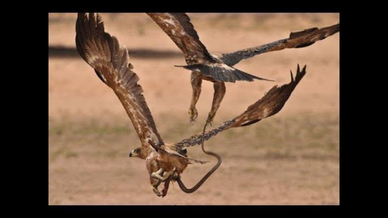 Águia Ataca Cobra | Águia Lutando com uma Serpente