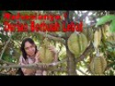 081372543994 Cara Pemupukan Durian Berbuah Lebat Cara Menanam Durian Agar Cepat Berbuah