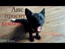 Лиса просит кушать Лис кусается Ой всё Akira fox Уруру Silver fox Black Fox life 4K
