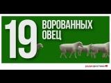 Сотрудница одной из ферм коварно выкрала 19 советских мериносов