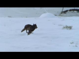 BBC: Жизнь млекопитающих. Плотоядные (5 серия)