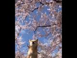 Сиба в цвету сакуры