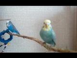 Мои волнистые попугайчики)Вольер.волнистые попугаи Пинск