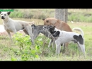 Countryside Dogs in Summer-Village Dogs Playing After Harvest Rice-Wild Pet Daily