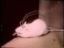 Опыт на крысах Центр удовольствия