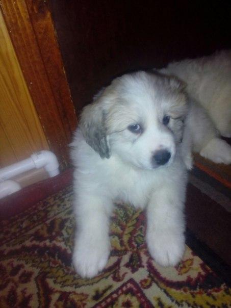 Щенки горной пиренейской собаки, остался мальчик и девочка, привиты, д
