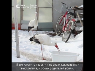 Пенсионер из Воронежской области приютил двух спасенных аистов