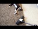 Adolf the cat VS The vacuum cleaner