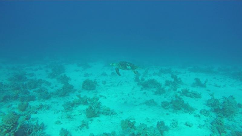 Большой, серьезный красноморский черепах )