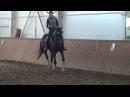Ахалтекинский жеребец Севан Шаэль, тренировка/Dressage training, akhal-teke stallion Sevan-Shael