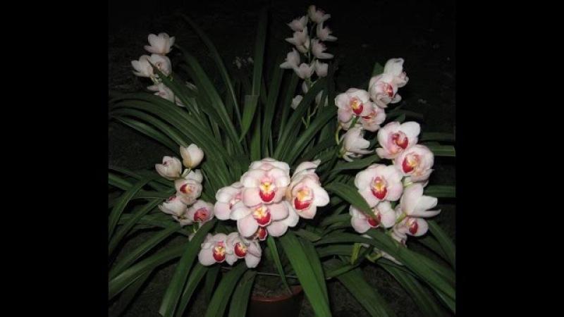 ЦИМБИДИУМ _ Пересадка по всем правилам _ Сберегаем здоровье орхидее _