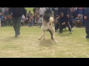 İt urshy 2017 собачий бой 2017 dog fighting 2017