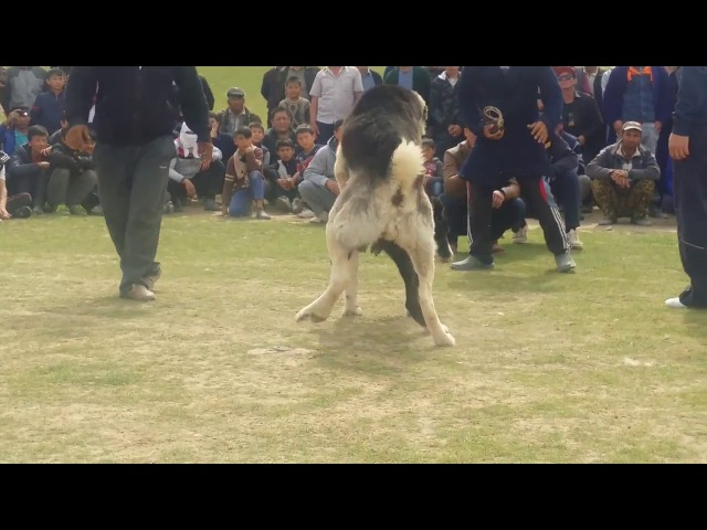 İt urshy 2017 | собачий бой 2017 | dog fighting 2017