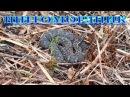 Щитомордник Дальневосточный змея в Камень-Рыболове