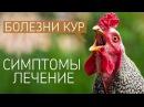 САМЫЕ ЧАСТЫЕ БОЛЕЗНИ У КУР: симптомы и лечение куриных заболеваний! (Ветеринар П