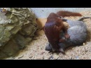 Мангуст какой-то против крысы (Weasel Vs Rat)