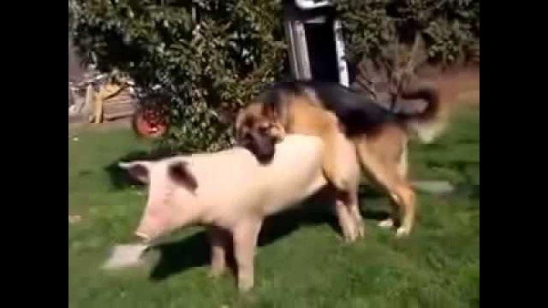 собака трахает свинью