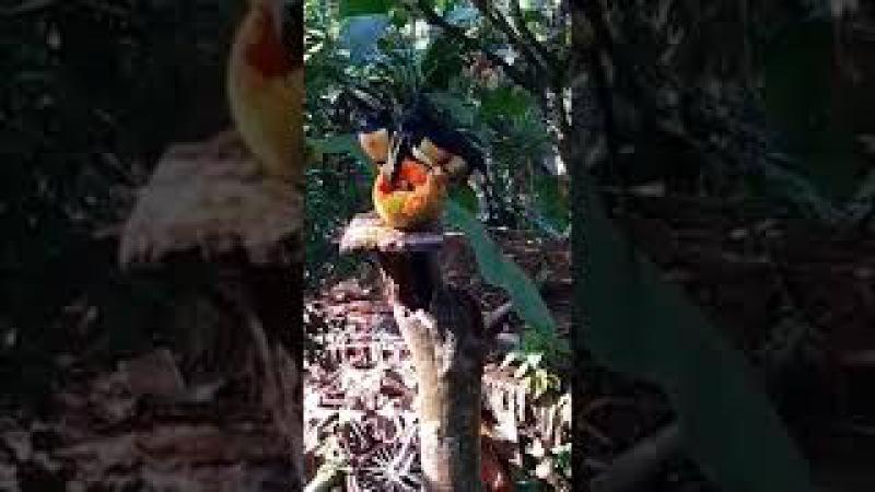 Tucanes comiendo papaya Costa Rica Nidia A