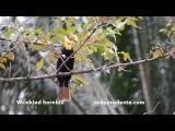 Wrinkled Hornbill / Морщинистый калао / Aceros corrugatus