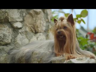 Породный рацион Royal Canin для йоркширского терьера