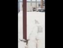 Полярный белый лис