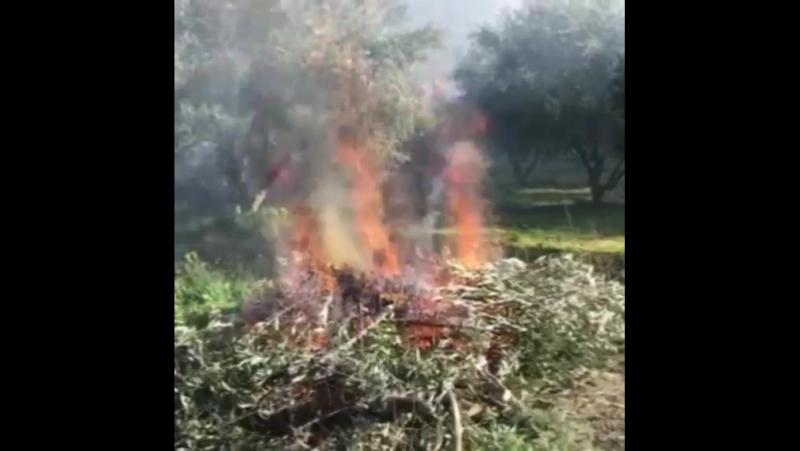 Обрезка и сжигание верхней кроны оливковых деревьев