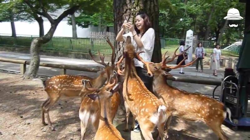 Нара - город в Японии, оккупированный оленями