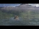 Медведица плывет с медвежатами.Река Лена
