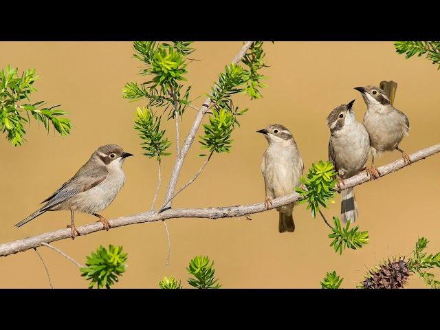 Восхитительный баттл Соловей vs Жаворонок Звуки природы Пение птиц