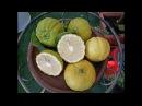 Лимон меллароза (C. Limon Mellarosa)
