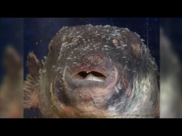 Смертельный деликатес: в Японии объявили тревогу после продажи ядовитой рыбы фу...