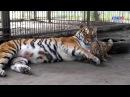 Милые кадры из Барнаульского зоопарка амурская тигрица Багира играет с тигрёнком