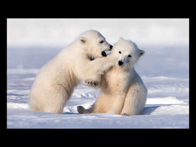 Adorably Cute Polar Bear Cubs Go Sledging!
