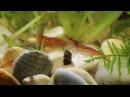 Аквариумные креветки Вишня. Aquael Shrimp Set Smart Plant