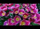 Тюльпаны - в дар прекрасному созданью!