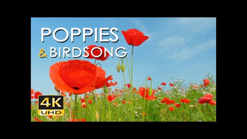 4K Poppy Meadow Birdsong - Relaxing Nature Video Sounds - Birds Singing in Flowery Field - UHD