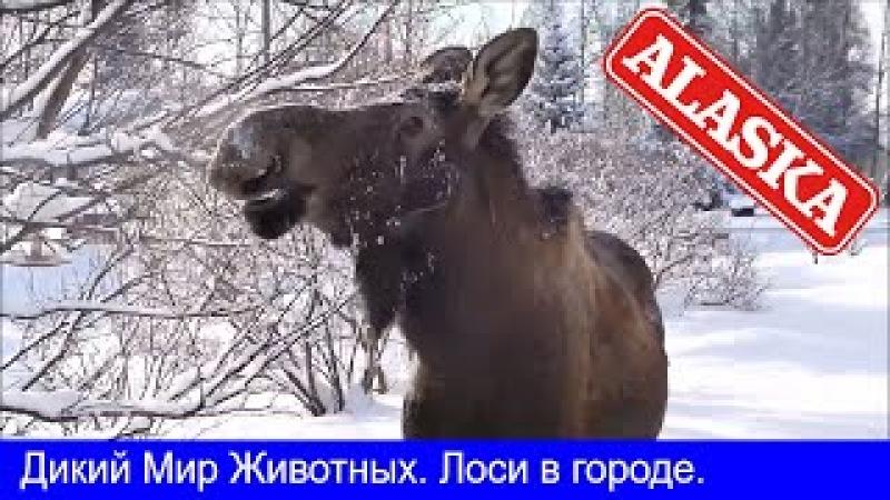 Аляска Анкоридж Дикий Мир Животных Лоси в городе Moose in the Сity