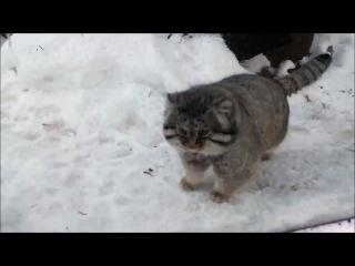 Манул в легком шоке от снега