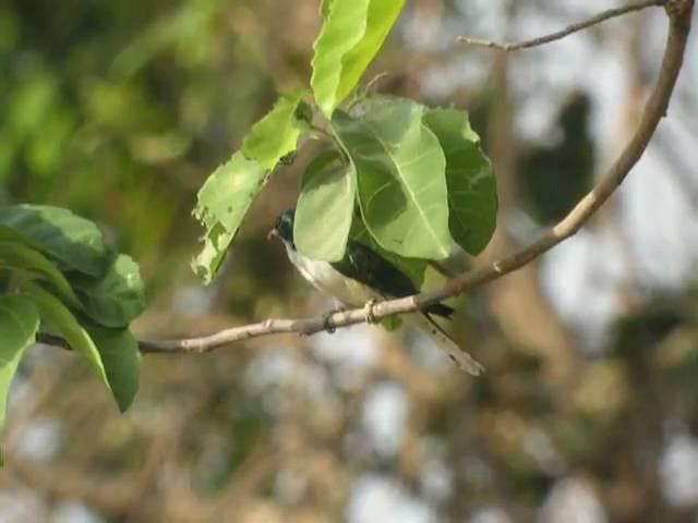 Klaas's Cuckoo Бронзовая кукушка Клааса Chrysococcyx klaas